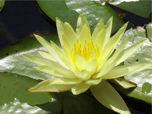 Symbolbild Yoni-Massage: Lotusblüte Mari Sawada